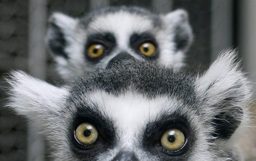 Gredzenastes lemurs slēpjas... Autors: KingOfTheSpokiLand 75 Pārsteidzošas dzīvnieku fotogrāfijas!