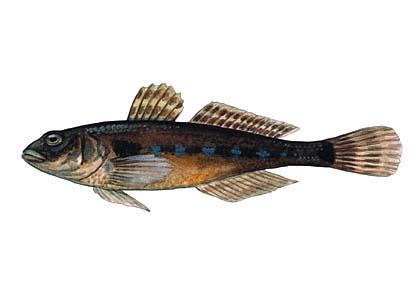 Jūrasgrundulis Globiusculus... Autors: Sperovs Latvijas zivis