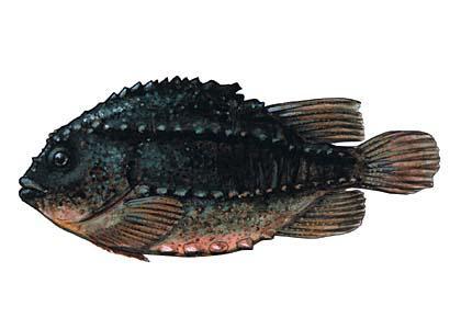 Jūras zaķzivs jūras zaķis Visā... Autors: Sperovs Latvijas zivis