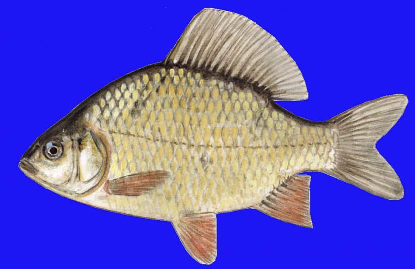 Karūsa  Latvijas ūdeņos ļoti... Autors: Sperovs Latvijas zivis