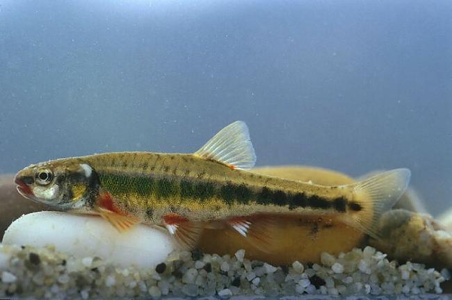 Mailīte Phoxinus phoxinus ... Autors: Sperovs Latvijas zivis