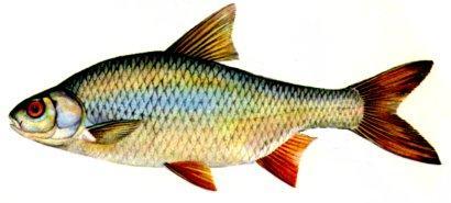 Rauda Rutilus rutilus... Autors: Sperovs Latvijas zivis