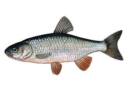 Sapals Leuciscus cephalus... Autors: Sperovs Latvijas zivis