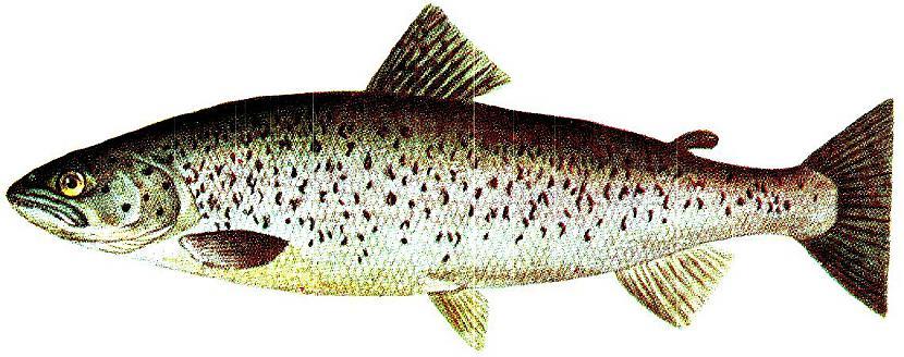 Taimiņš Salmo trutta Latvijā... Autors: Sperovs Latvijas zivis