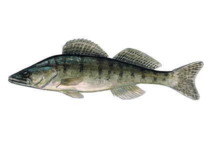 Zandarts Stizostedion... Autors: Sperovs Latvijas zivis