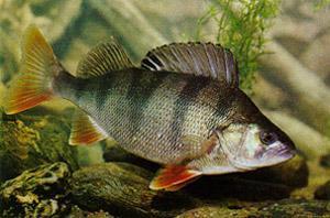 Asaris Perca fluviatilis... Autors: Sperovs Latvijas zivis