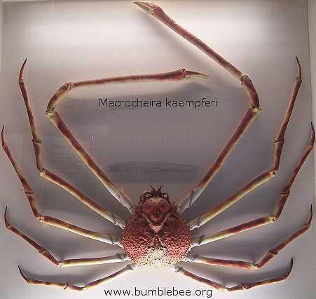 Japānas milzu krabis ir... Autors: Pack man Dzelmes Dīvaiņi