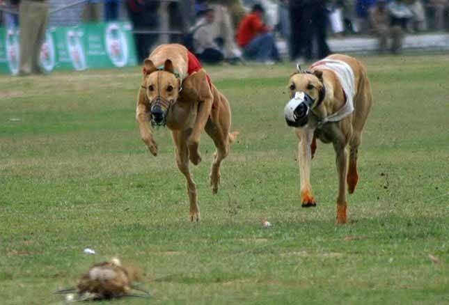 Suņu skriešanas sacensības Autors: pusniks Mini Olimpiskās spēles Indijā