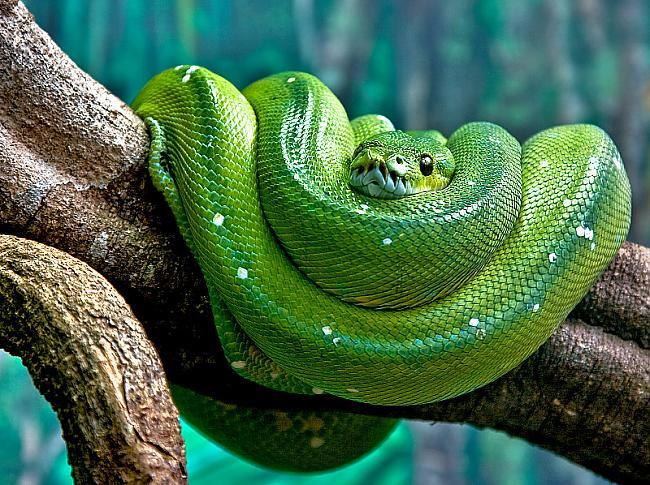 zaļais koka pitons Autors: Justas [Čūskas un Fakti]