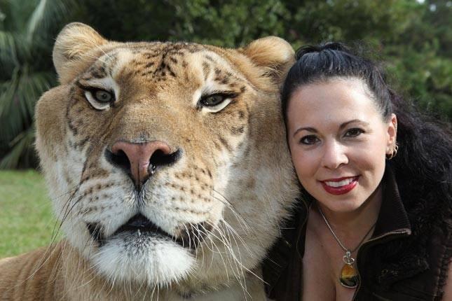 Tīģerlauvas un lauvtīģeri Dabā... Autors: Skello Pasaules dīvainākie dzīvnieki.