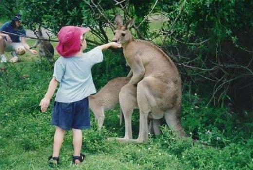1 Austrālijā ķenguru skaits... Autors: lucifers Vai tu to tiešām zināji?!