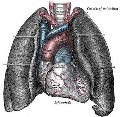 Labās plaušas dzīvības tilpums... Autors: Fosilija Fakti par tevi!