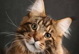 Kaķis kas ir meinkūnu... Autors: reds Ginesa rekordu sasniedz pasaulē garākais kaķis