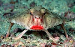 Zivs ar sarkanām lūpāmLīdzīgi... Autors: reds TOP 3: pasaules neglītākās zivis