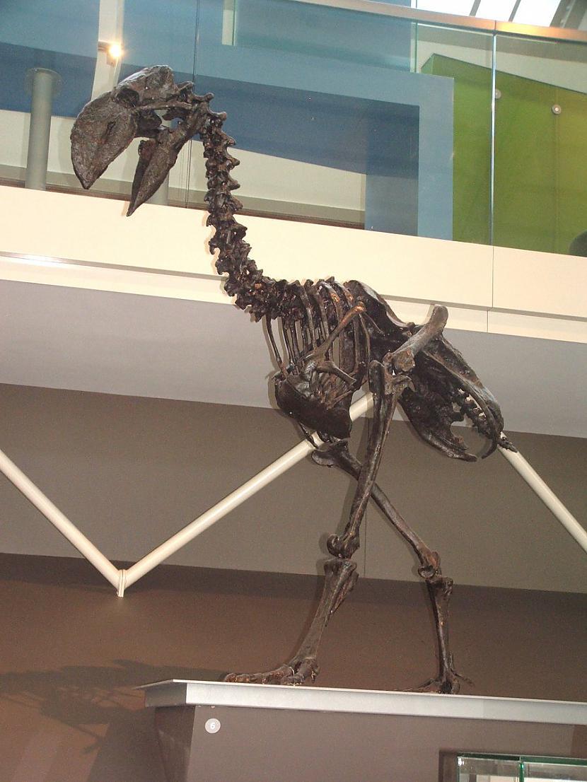 Titanis jeb Terror bird Autors: Fosilija Daži krutākie zīdītāji un putni