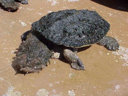 Matamata Turtle apdzīvo... Autors: kapars118 Neparastie dzivnieki
