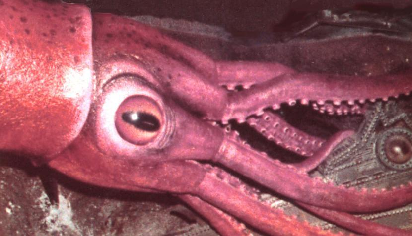 Mesonychoteuthis hamiltoni jeb... Autors: Fosilija Daži krutākie bezmugurkaulinieki