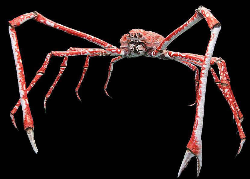 Pats ķermenis var būt 40cm... Autors: Fosilija Daži krutākie bezmugurkaulinieki