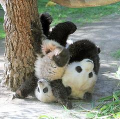 Un spēļu laukumā satiku savus... Autors: vilx2 Pandas dzīvestāsts