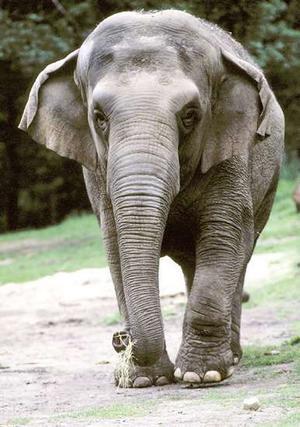 Arī cirkā parasti strādā ar... Autors: Tavs Sencis Fakti par ziloņiem