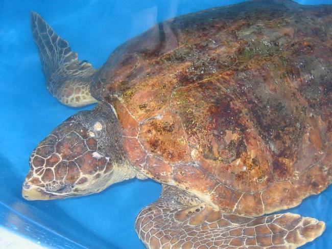 Vienas no visbiežākajām... Autors: 6luks Bruņurupuči