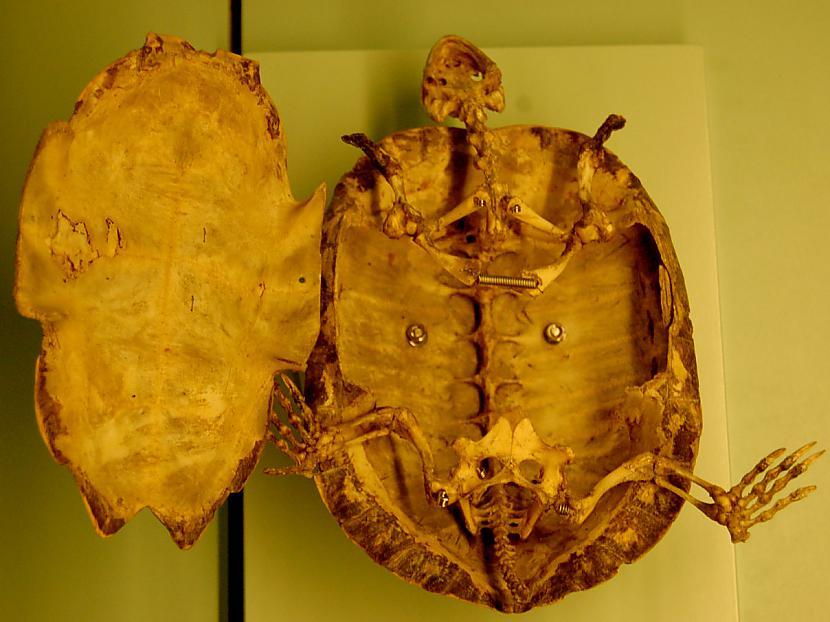 Bruņurupuča bruņas ir... Autors: 6luks Bruņurupuči