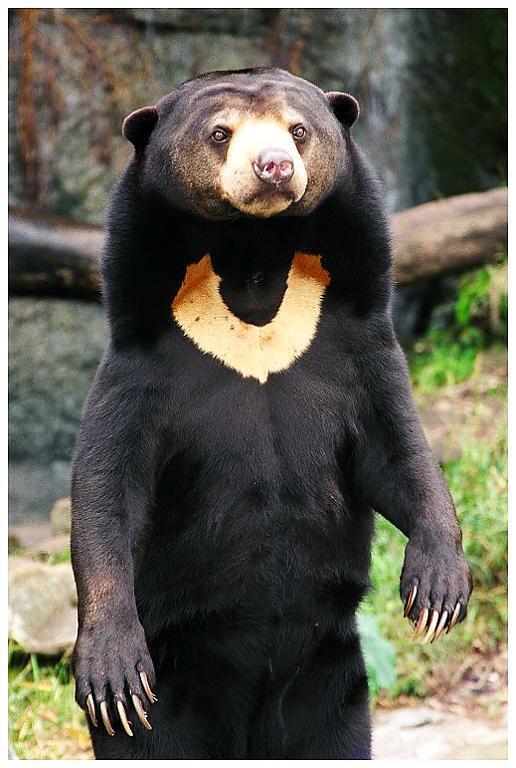 2 Saules lācis Sun Bear jeb... Autors: VinijsPūks 25 pasaules jocīgākie dzīvnieki
