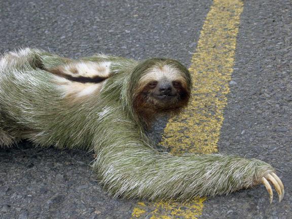 6 Sliņķis Sloth jeb Folivora Autors: VinijsPūks 25 pasaules jocīgākie dzīvnieki