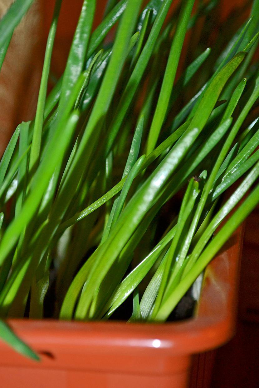 Aug sīpollociņi Autors: Liennucyc Pavasaris