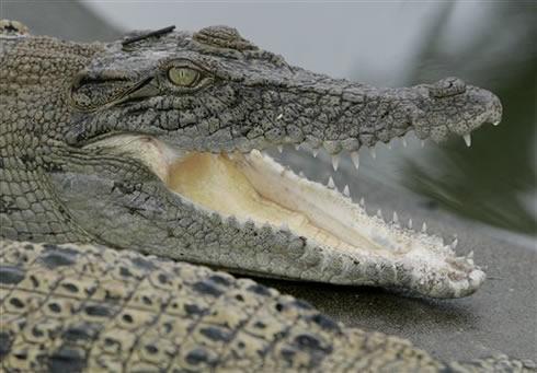 Krokodili ir daltoniķibet... Autors: Fosilija Vai zināji ka