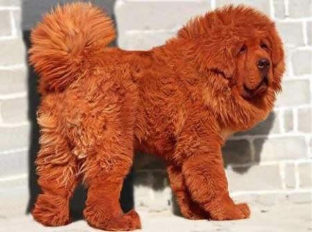Pasaulē dārgākais suns jums... Autors: ellah Pasaules dārgākais