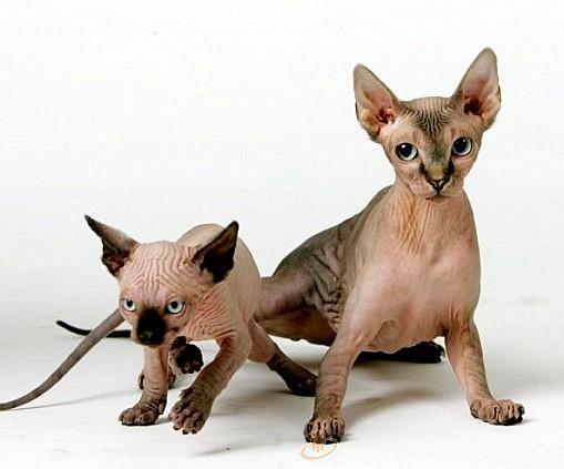Sfinksa ausis smērējas īpaši... Autors: Korella Fakti par sfinksiem!