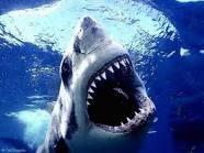 Skrimšļzivis ir jūras lielākās... Autors: Fosilija 10 fakti par zivīm.
