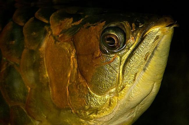 Daudzas sugas zivju perē olas... Autors: Fosilija 10 fakti par zivīm.