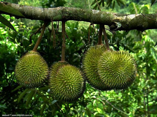 Durians Autors: flammable 5 dīvaini Āzijas valstu ēdieni...