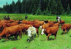Liellopi ir vienīgie zīdītāji... Autors: Fosilija Fakti par dzīvniekiem