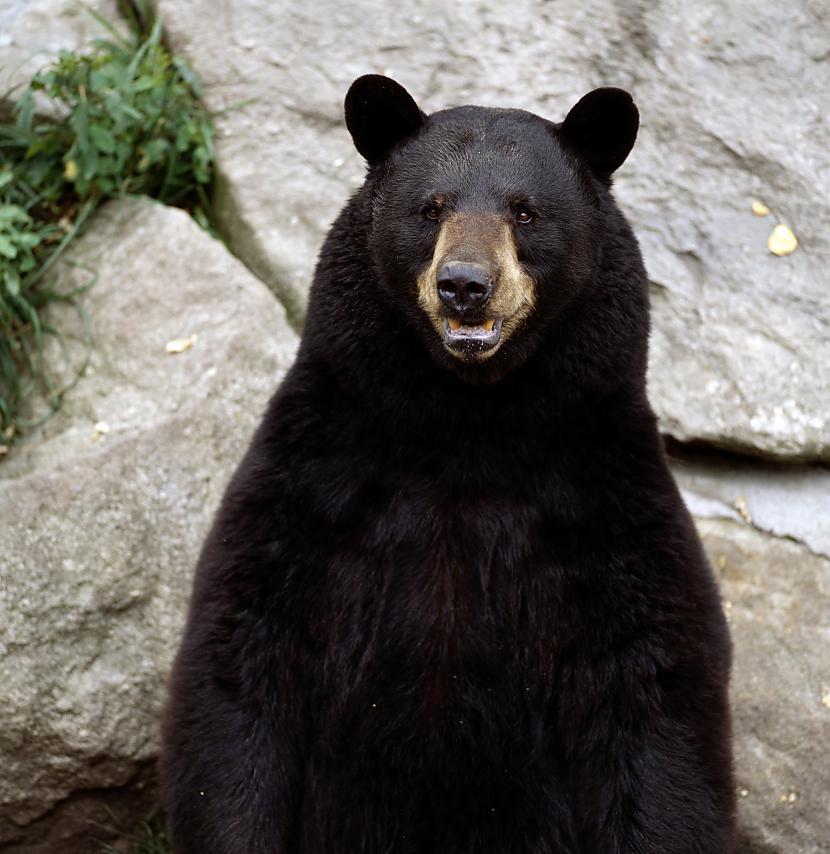 Pieaudzis lācis var skriet... Autors: Fosilija Fakti par dzīvniekiem