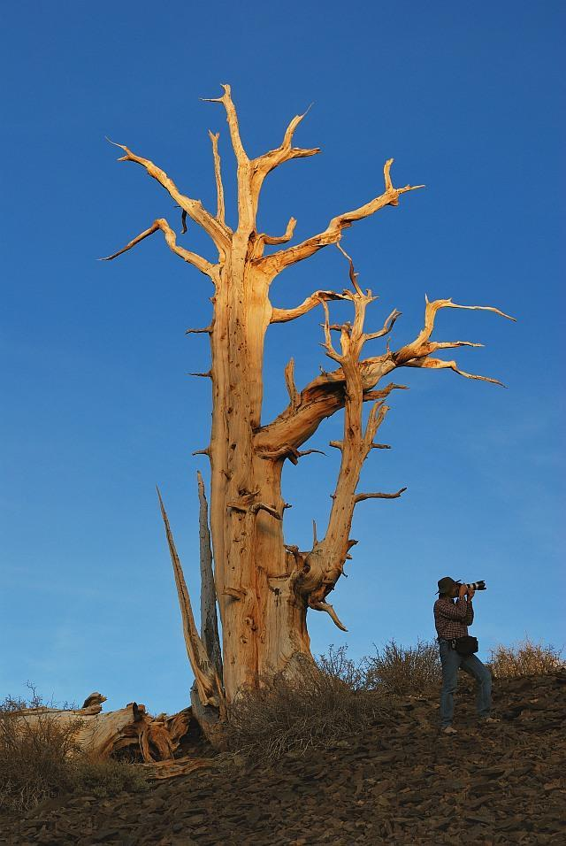 7 Vecākais koks ir priede... Autors: Banderas Interesanti fakti..
