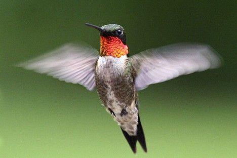 Kolibri putnu mīļākā krāsa ir... Autors: ML Neticami, bet fakts - 7. Beigas.