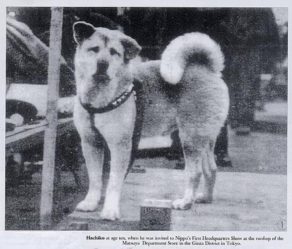 Otrā pasaules kara laikā... Autors: CrazyMaineCoonLover Hachiko: The World's Most Loyal Dog