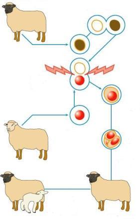 Bilde gan par aitām bet... Autors: VinijsPūks Cilvēka klonēšana - starp medicīnu un neizbēgamību