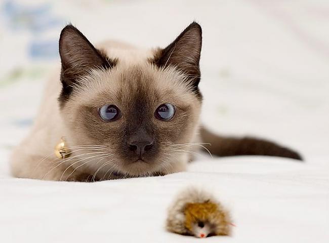 Viņiem piederēja kaķis vārdā... Autors: Fosilija Viņš atgriezās.