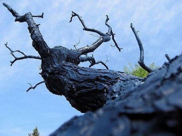 Autors: Asiņainā Mērija Interesanti koki.