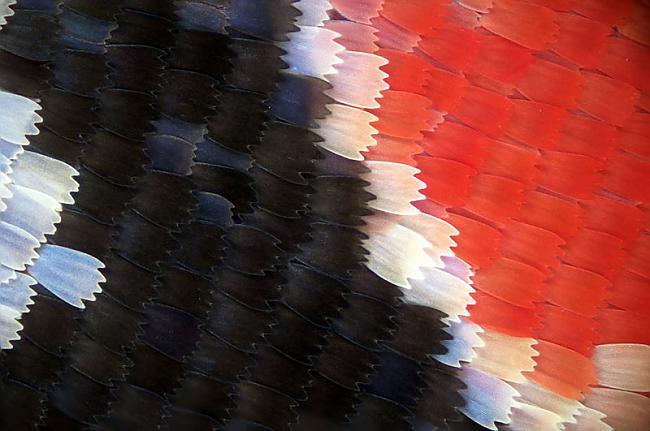 Tauriņa spārns Autors: peleejums Makro-spoks