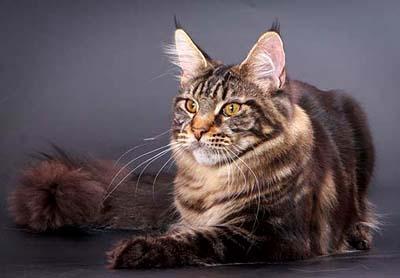 nbspKaķa ausī atrodas 32... Autors: SūduCentrs Kaķi vai citplanētieši?