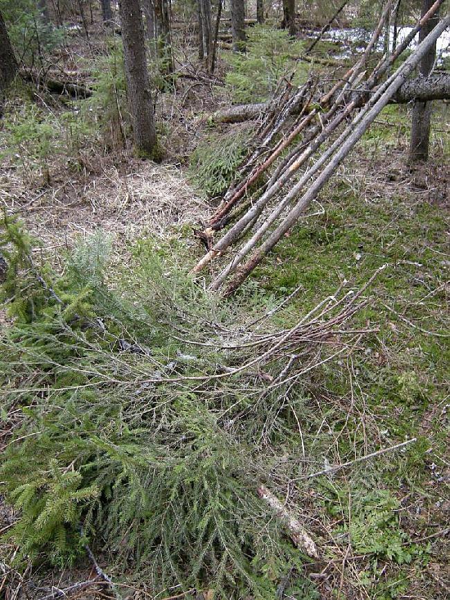 Tad sameklējam Egļu zarus Autors: Dark Mist Kā uzbūvēt patvērumu mežā.
