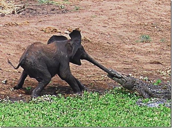 Tātad lūk šiet zilonēns bija... Autors: SummerSound Bara instinkts dabā..