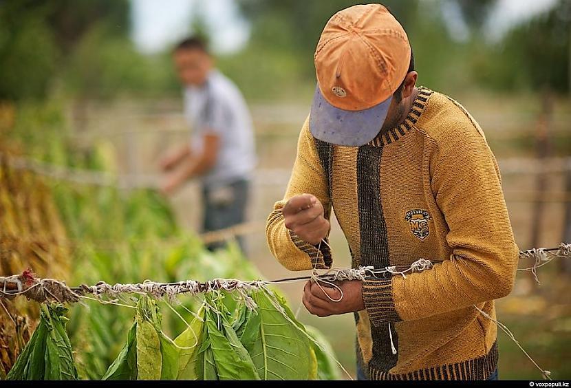 Autors: Džordžs no Džungłiem Kā izaudzē tabaku ?