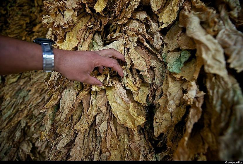 Tabkas nogatavināšanos iedala... Autors: Džordžs no Džungłiem Kā izaudzē tabaku ?
