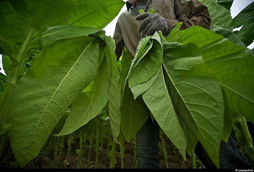 ļoti neizdevīgi un slikti ir... Autors: Džordžs no Džungłiem Kā izaudzē tabaku ?